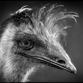 Emu by Dave Lipchen - Black & White Animals ( emu )