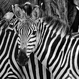by Doug Hilson - Black & White Animals