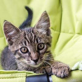 Tiger by Andrej Kozelj - Animals - Cats Kittens ( cats, kitten, cat, animal, kittens, pet, kitty )