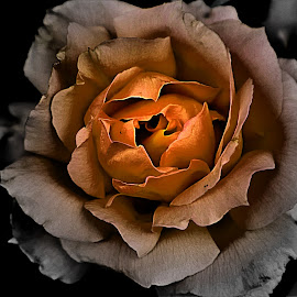 Rose in Black and white with center color by Bruce Newman - Flowers Single Flower ( rose, black and white, macro photography, dramatic, flower photography )