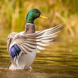 Mallard by Rolland Gelly - Animals Birds ( rolland quebec canada )
