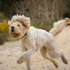 Golden Doodle  by Jenny Trigg - Animals - Dogs Running ( playing, labradoodle, dog, running, golden retriever )