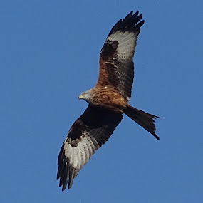red kite by Arif Burhan - Animals Birds ( bird, gilding, hawk )