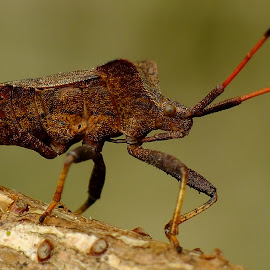 Dock Bug by Pat Somers - Animals Insects & Spiders