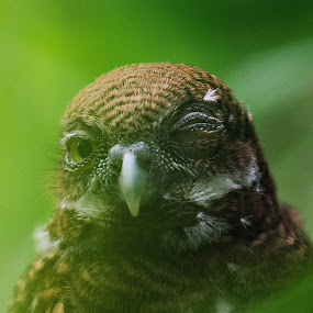 I love you.. ! by Gokul Rajenan - Animals Birds ( nature, green, owl, feather, eyes )