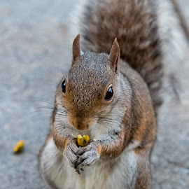 Pistacchio by Tomasz Karasek - Animals Other Mammals ( park, pistacchio, eating, nuts, close-up, squirrel )