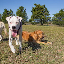 hey! by Meaghan Browning - Animals - Dogs Portraits ( park, boxer, puppy, together, golden retriever )