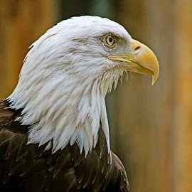 His Majesty! by Judy Laliberte - Novices Only Wildlife ( eagle, white, brown, bald, yellow, feathers )