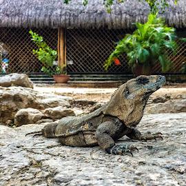 Chichén-Itzá by Sarah Ann Warren - Animals Reptiles ( chichén-itzá mexico progreso animals reptiles iguana lizard )