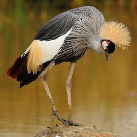 Grue royale du Sénégal by Gérard CHATENET - Animals Birds