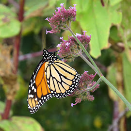 Monarch2 Cove Island by Erika  Kiley - Novices Only Wildlife ( butterfly, monarch, garden, flower )