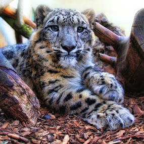 Snow leopard cub by Anthony D'Angio - Animals Lions, Tigers & Big Cats ( big cat, cat, cub, snow leopard )