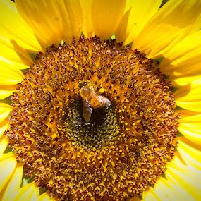 Sunflower-with a vistor by Tiffany Matt - Flowers Single Flower (  )