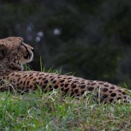 by Mariaan Vorster - Animals Lions, Tigers & Big Cats (  )