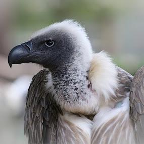 Vulture by Johann Fouche - Animals Birds ( bird, vulture, bird of prey, birds, birding,  )