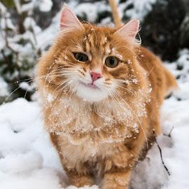 Our Tomcat Puma by Crazy  Photos - Animals - Cats Portraits