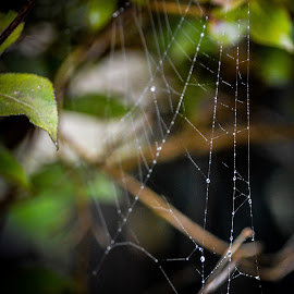 Morning Web by Jackie Brunette Ladouceur - Nature Up Close Webs ( nature, spider web nature, spider, web, morning,  )