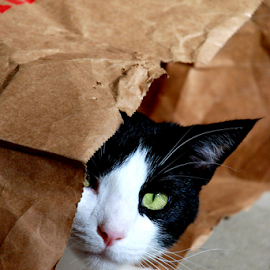 Puddin' in the Bag II by Jane Spencer - Animals - Cats Playing ( playing, cat, tuxedo, male, tom cat, grocery bag )