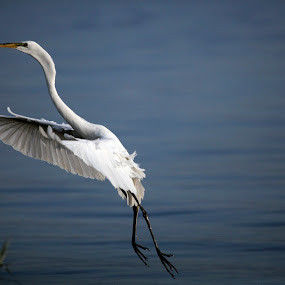 Great Egret by Alfredo Garciaferro Macchia - Animals Birds ( wings, egret, great egret )