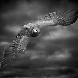Harris Hawk in flight by Sandy Scott - Black & White Animals ( bird, birds of prey, animals, nature, avian, wings, black & white, hawk in flight, wildlife, raptor, harris hawk, skies, predators, hawk,  )