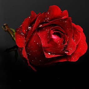 Rose with raindrops by Cristobal Garciaferro Rubio - Nature Up Close Flowers - 2011-2013 ( rose, red, drop, roses, drops, raindrops, flowers, flower )