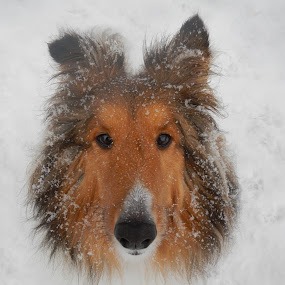 by Blaine Stauffer - Animals - Dogs Portraits ( , animal snow , pwc84 )
