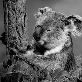 Koalas Rock B&W by Shawn Thomas - Black & White Animals