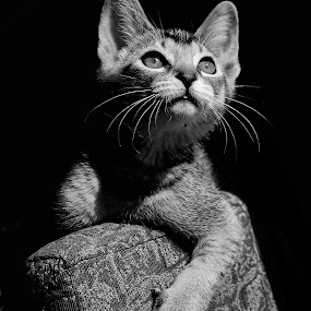 Nefertiti by Benoit Beauchamp - Animals - Cats Portraits (  )