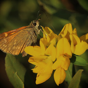 Skipper by Carol Lauderdale - Nature Up Close Other Natural Objects ( moths and butterflies, foulshaw moss reserve, macro photography, wildlife and nature, skippers )