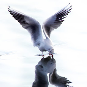 by Indra Fardhani - Animals Birds ( seagull )