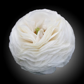 DNI ranun 05 by Michael Moore - Flowers Single Flower