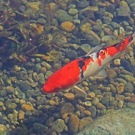 Colorful Koi by Lauren Manzano - Animals Fish