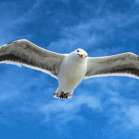 Seagull  by Mi Mundo - Animals Birds ( sea bird, bird, seagull )