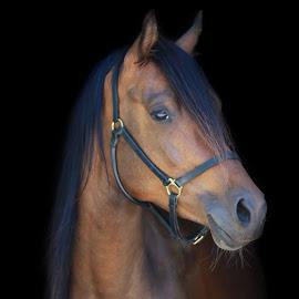 Arabian Horse Mare by Eveline van Beusichem - Animals Horses ( arabian horse mare )