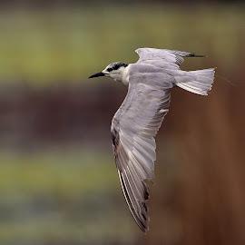 Black headed seagull by Manoj Kulkarni - Animals Birds ( flying, flight, gull, headed, nature, fly, wings, indian, wildlife, sea, india, forest, black )