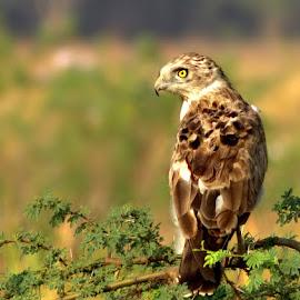 The Wait for the Snake  by Prasanna Bhat - Animals Other ( raptors, wildbird, prasannazphotography, ishot300birds, bangbird )
