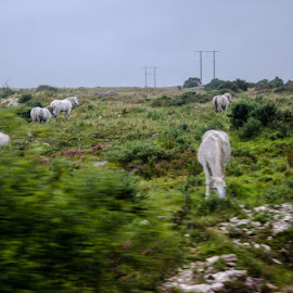 Connemara  by Gina Guerrero - Animals Horses