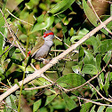 Red-browed Firetail