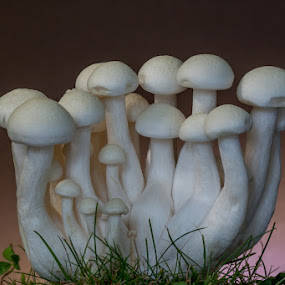 Shimeji Mushrooms by Anita  Christine - Novices Only Flowers & Plants ( mushroom, plant, macro, nature, shimeji, grass, white, Mushroom,  )