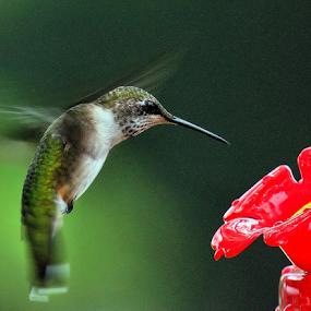 Here I am by Ivy Luna - Animals Birds ( #animals, #birds, #here, #hummingbird,  )