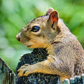 Brown Squirrel on a Post by Judy Rosanno - Animals Other Mammals ( eye reflection, rodent, brown squirrel, mammal, animal,  )
