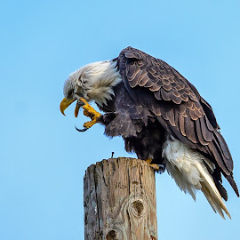 Eagle Itch by Jerry Cahill - Animals Birds ( bird of prey, eagle, american eagle, bald eagle, birds )