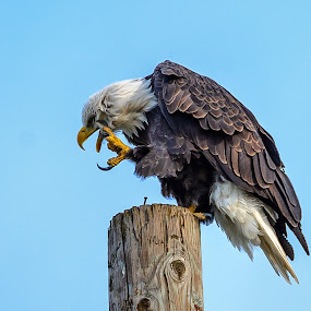 Eagle Itch by Jerry Cahill - Animals Birds ( bird of prey, eagle, american eagle, bald eagle, birds,  )