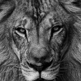 The Stare Down by Stacey Bates - Black & White Animals ( big cat, king of the jungle, lion, cat, black and white, mane )