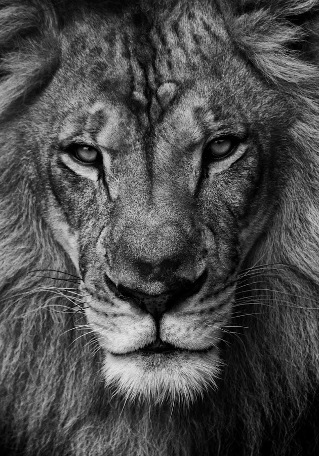 The Stare Down by Stacey Bates - Black & White Animals ( big cat, king of the jungle, lion, cat, black and white, mane,  )