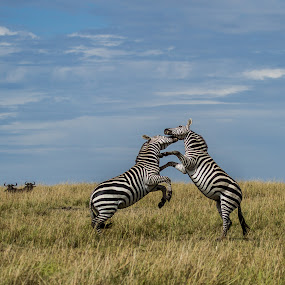 Fighting Zebra by Sinclair Parkinson - Animals Other Mammals ( masai, wild, wildebeest, mara, african, fight, sinclair parkinson, kenya, stripes, stripe, nature, safari, burchell, striped, fighting, zebra, plain, africa, maasai )