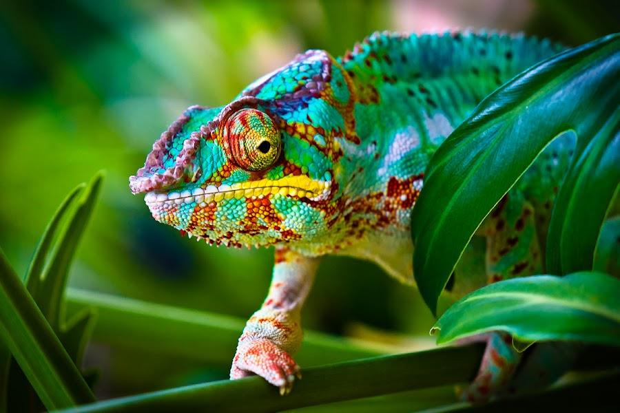 Nelson by Frank Koehntopp - Animals Reptiles ( chameleon )