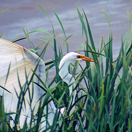 Can You See Me Now by Sheen Deis - Animals Birds ( nature, marsh birds, egrets, birds, reeds, great white egret )