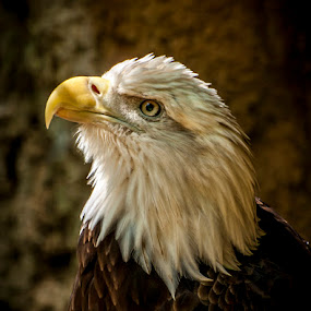 Freedoms Gaze by Ken  Frischkorn - Animals Birds ( birds of prey, hawks, falcons, eagles, birds )