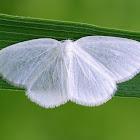 White Spring Moth